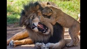 Baba aslan ve yavrularının ilk karşılaşması
