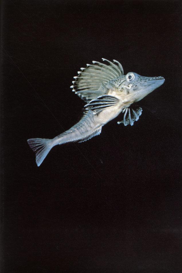 картинка ледяная рыба в антарктиде так