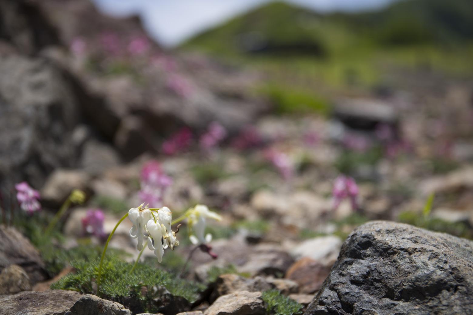 白馬五竜高山植物園の白いコマクサ