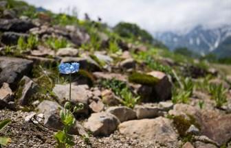 日本では珍しい高山植物