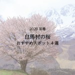 白馬村の桜スポット