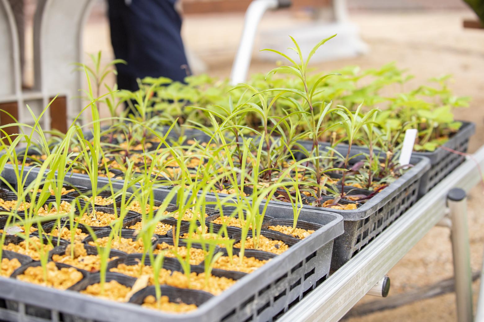白馬五竜高山植物園 高山植物苗の無料プレゼント