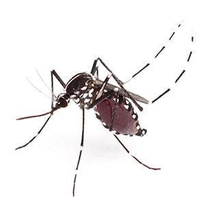 Jenis-jenis Nyamuk Paling Berbahaya di Dunia