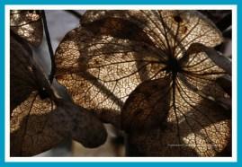 antetanni-fotografiert_Hortensie_Hohenheim_2017-03 (19)
