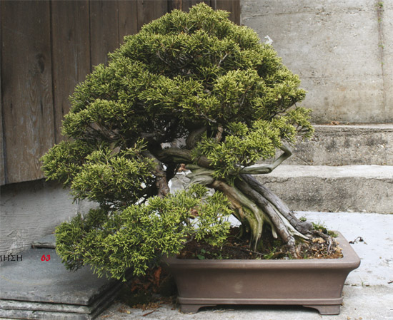 bonsai-pinus