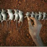 Η αποικία των ποντικών στο πείραμα «Σύμπαν 25» και οι παρακινδυνευμένες αναλογίες με την ανθρώπινη κοινωνία