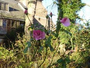 enfield-december-rose