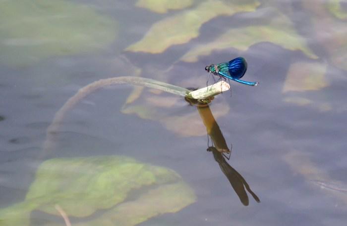 Damsel Fly A4