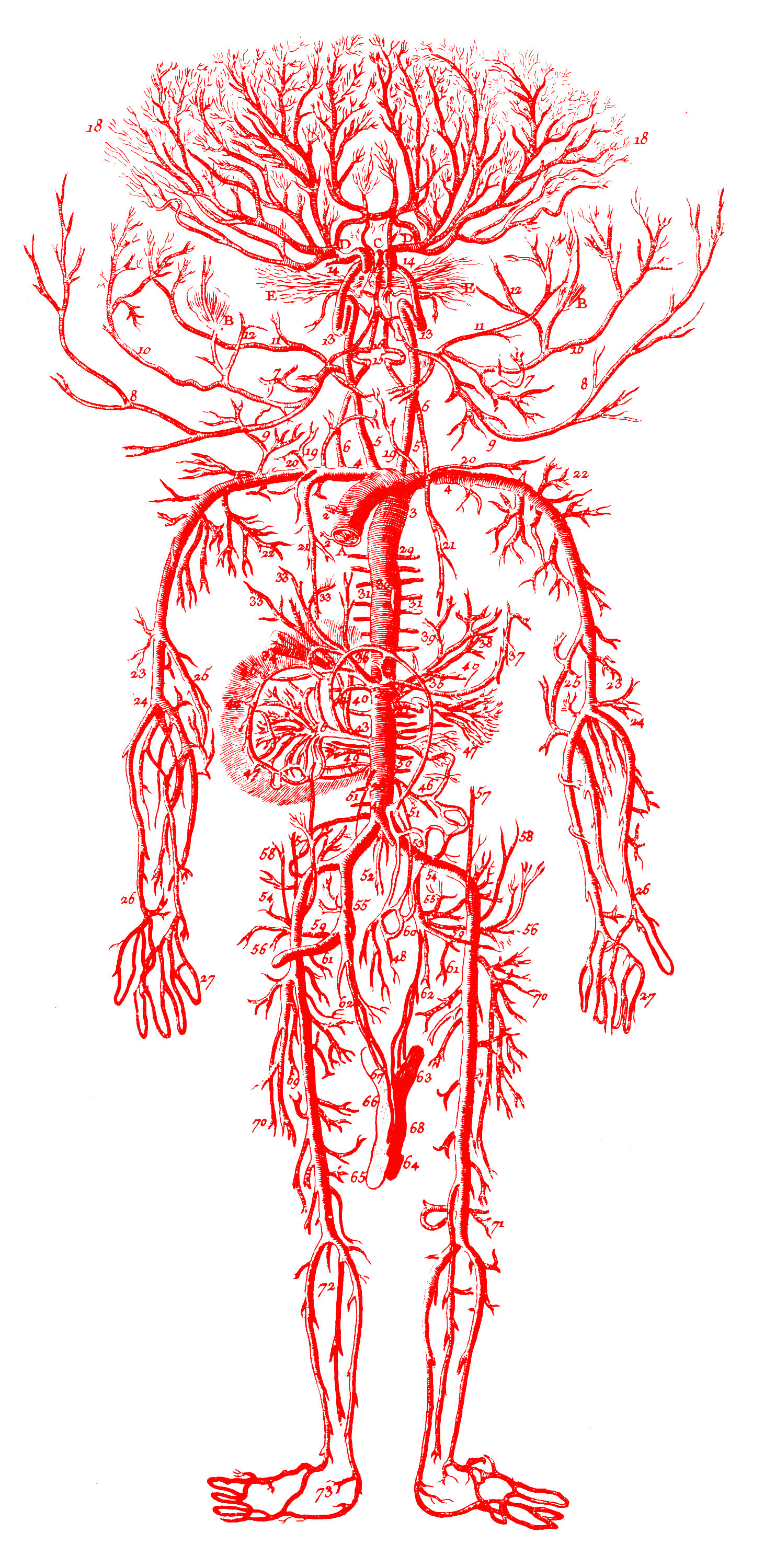 Pin Human Circulatory System Worksheet Diagram Picture On