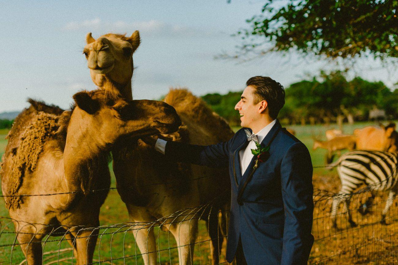 Camels at Weddings