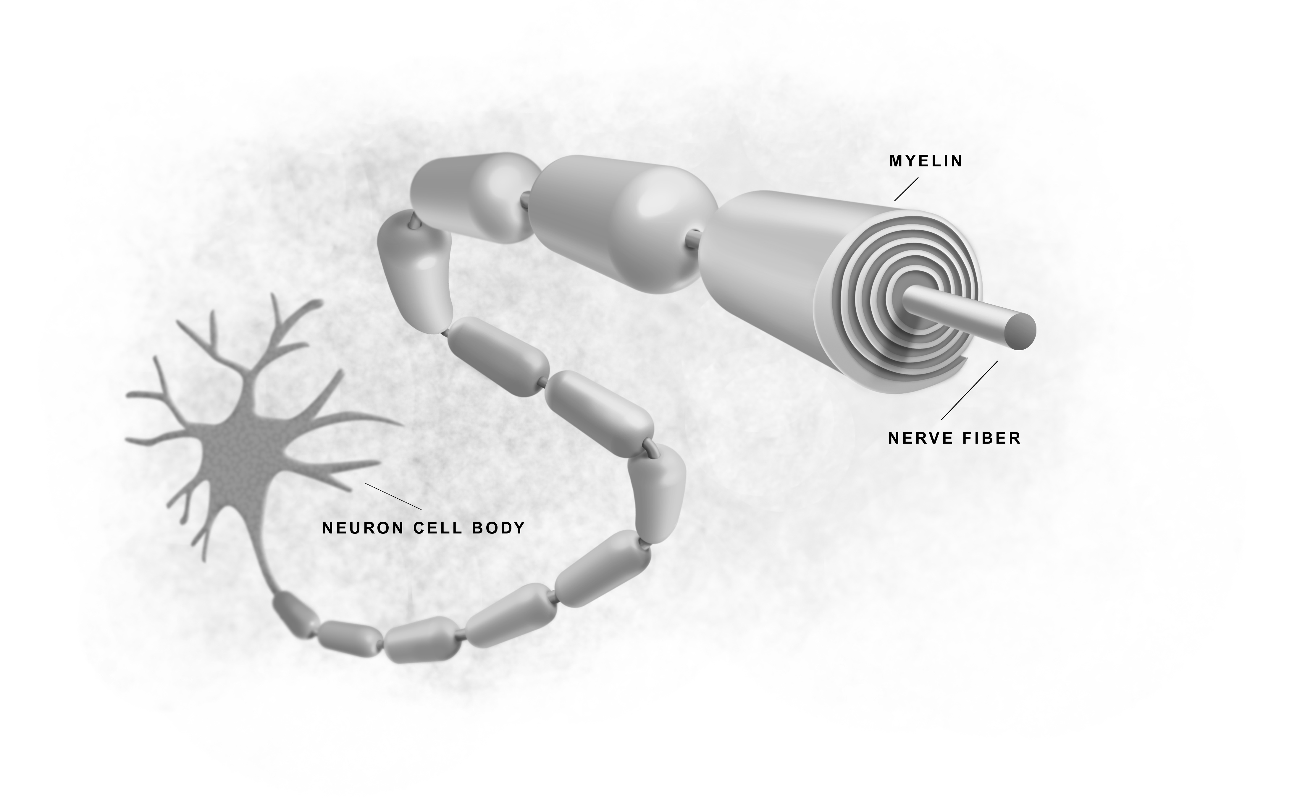 Solidification comes from more myelin along axon of neurons