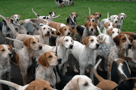 FOXHOUNDS GETTING THEIR BATTLE ORDERS