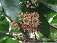 Sterculiaceae, Cola nitida flowers, close
