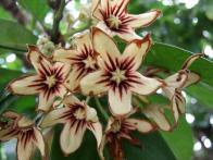 Sterculiaceae, Cola nitida, flowers, closer