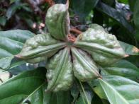 Sterculiaceae, Cola nitida, fruit, imature