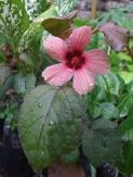 Malvaceae, fasle roselle, cranberry hibiscus, edible leaves
