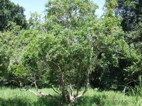 Myristicaceae spp. Unknown species, tree