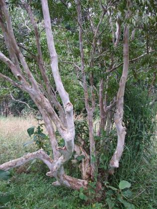 Myristicaceae spp. Unknown, trunk