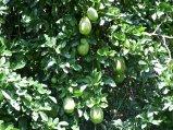 citrus-unknwn-oblong