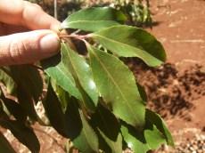 Khat leaf