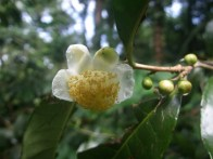 Camellia sinensis flower