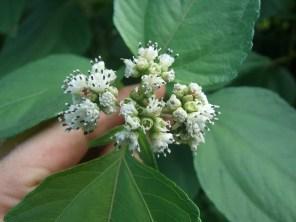 Barbasco flower