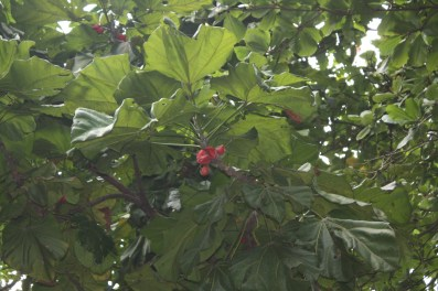 C. lizae, fruit