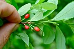 E. coca fruit