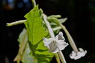 N. tabacum