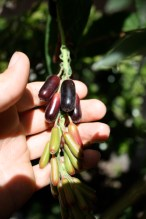 Fuchsia boliviana fruit
