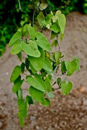 Aristolochia, spp. Jalisco, Mexico