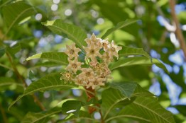 Iochroma umbellata, flower