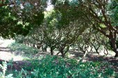 Pistachia lentiscus, orchard, Chios, Greece