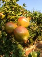 Pomegranates, Greece