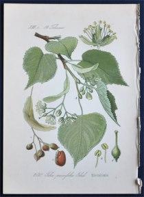 tilia-parvifolia1