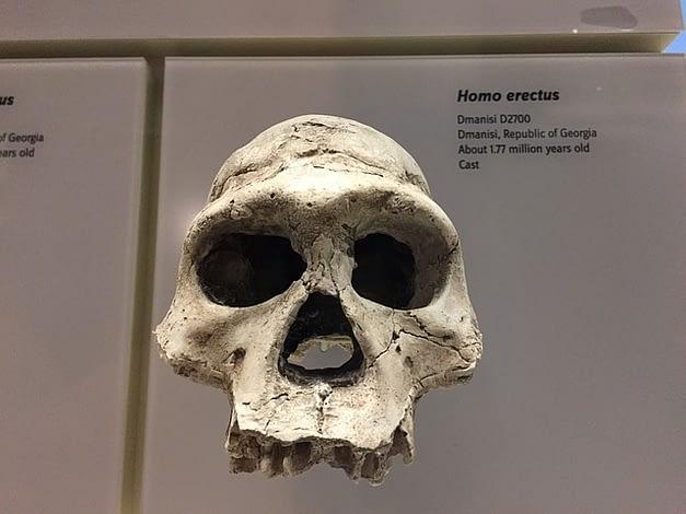 Homo erectus fossil