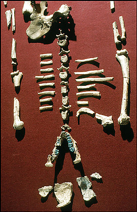 Remains of Lucy - Australopithecus afarensis