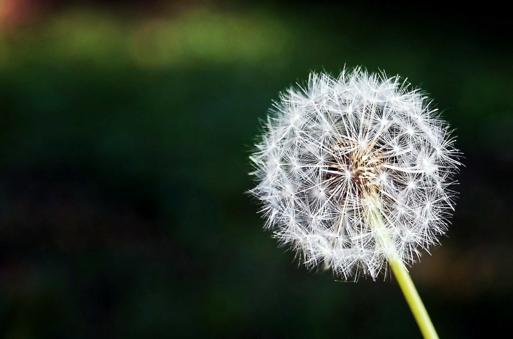 dandelion-167112_1280