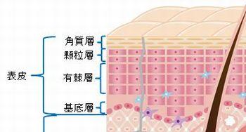 肌の表面の断面図