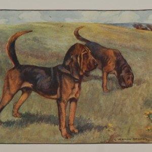 Antique print 1909 bloodhound