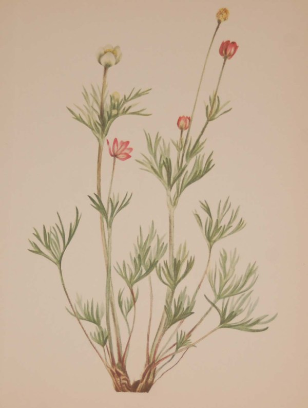 Vintage botanical print from 1925 by Mary Vaux Walcott titled Globe Anemone, stamped with initials and dated bottom left.