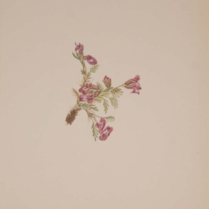 Vintage botanical print from 1925 by Mary Vaux Walcott titled Alpine Pointvetch 1925 Vintage Botanical Print , stamped with initials and dated bottom left.