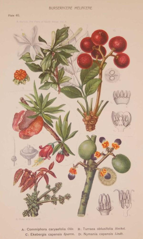 Original 1925 vintage botanical print titled Burseraceae Meliaceae Plate 40 by Rudolph Marloth