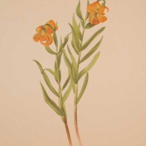 Vintage botanical print from 1925 by Mary Vaux Walcott titled Columbia Lily, stamped with initials and dated bottom left