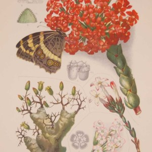 Original 1925 vintage botanical print titled Crassulaceae Plate 7 by Rudolph Marloth. The print was published as part of a set on the flora of South Africa.
