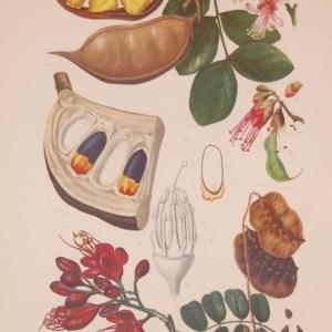 Original 1925 vintage botanical print Leguminoseae Plate 20 by Rudolph Marloth