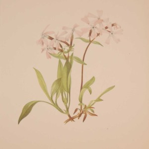 Vintage botanical print from 1925 by Mary Vaux Walcott titled Peatpink, stamped with initials and dated bottom left