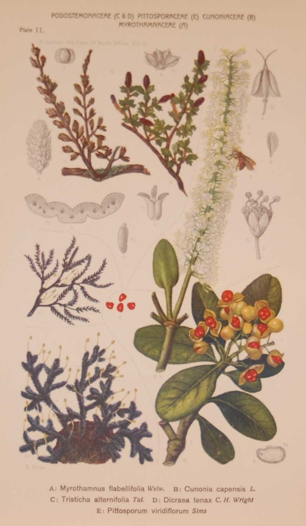 Original 1925 vintage botanical print titled Podostemonaceae Plate 11 by Rudolph Marloth. The print was published as part of a set on the flora of South Africa.