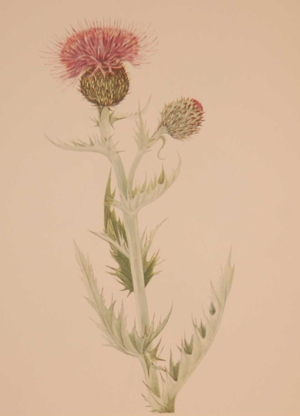 Vintage botanical print from 1925 by Mary Vaux Walcott titled Prairie Thistle , stamped with initials and dated bottom left.