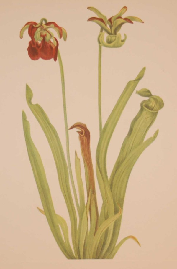 Vintage botanical print from 1925 by Mary Vaux Walcott titled Sweet Pitcherplant, stamped with initials and dated bottom left